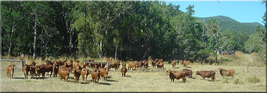 Parawanga Droughtmaster Cattle Stud Qld
